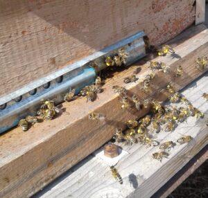 Пчелы вылезли из улья