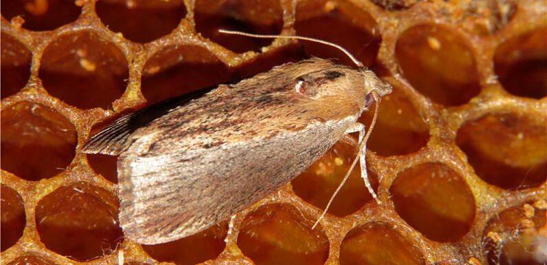 Пчелиная моль. Описание. Применение в медицине