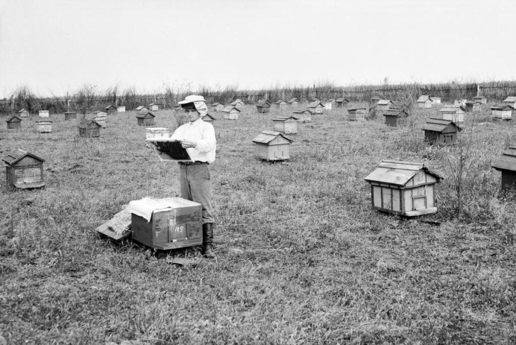 Пчеловодство в СССР. На колхозной пасеке