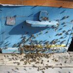 Пчелы трудятся