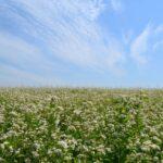 поле гречихи на Алтае