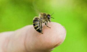 Пчелиный яд на жале