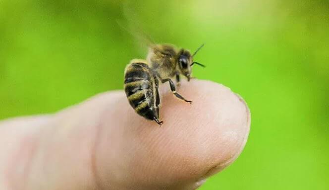 Пчелиный яд на конце жала