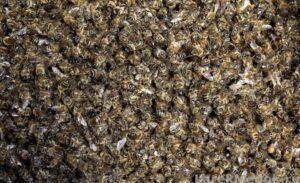 много мертвых пчел
